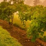 Tennessee Vineyards